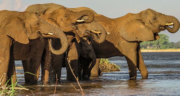 Elefanten am Ufer des Sambesi